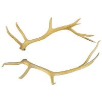 Elk Antler