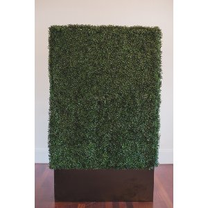 Fern Hedge -6ft