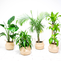 Extra Large Assorted Plants