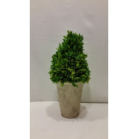 Plant - Boxwood Topiary