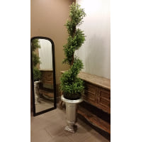 Plant - Boxwood Twist
