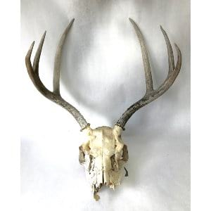 SANTIAGO ANTLERS WITH SKULL