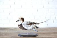 Fielder the Duck