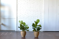Pair of Faux Fiddle-Leaf Figs