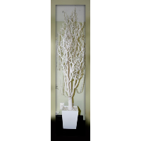 Tall White Rubber Tree