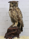 Taxidermy Owl/Great Horned Owl