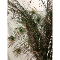 Peacock feather bunch