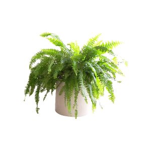 The Assorted Ferns: Tabletop Plant