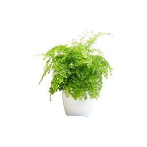 The Maidenhair Fern: Tabletop Plant