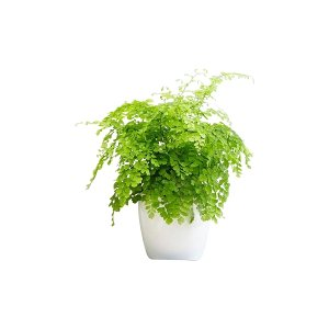 The Maidenhair Fern: Tabletop Plant