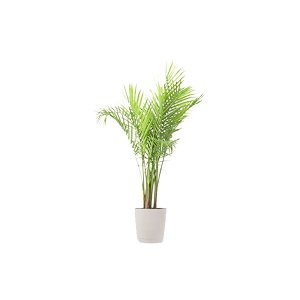 The Majesty Palm: Floor Plant