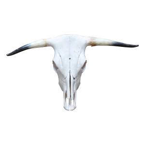 The Buddy: Medium Steer Skull