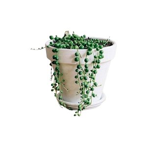 The String of Pearls: Tabletop Plant