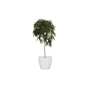 The Alii Ficus: Floor Plant