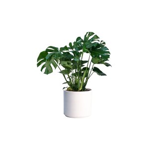 The Monstera: Floor Plant