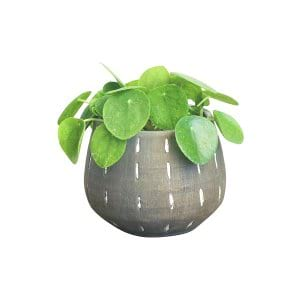 The Money Plant: Small Tabletop Plant