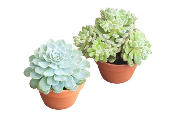 The Assorted Succulents: Tabletop Plant