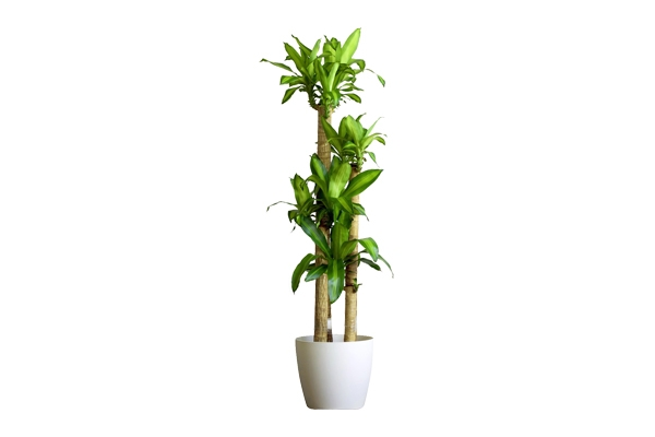 The Mass Cane Dracenea: Floor Plant