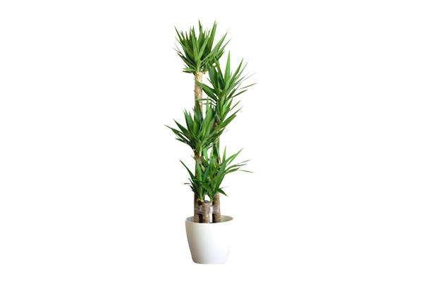 The Yucca: Floor Plant