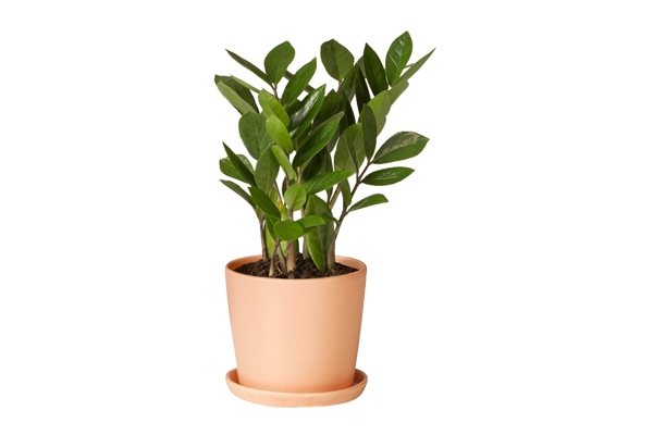 The ZZ: Tabletop Plant