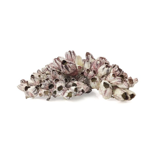 Barnacle Shells (Large)