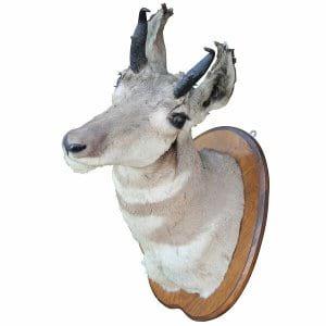 Kudu Mount